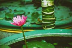 Lotus rose à un arrière-plan vert photographie stock libre de droits