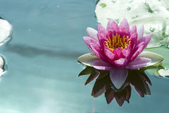 Lotus rose Images stock