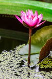 Lotus rose Photos stock