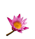 Lotus rose Photographie stock libre de droits
