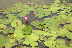 Lotus rose Photos libres de droits