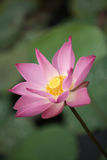 Lotus rose Image stock