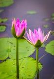 Lotus rose Photo stock