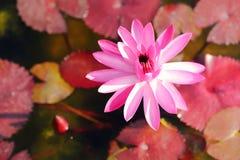 Lotus rose Images libres de droits