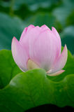 Lotus rose Photo libre de droits