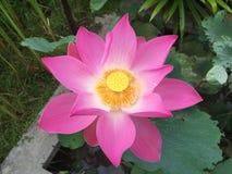 Lotus rose Image libre de droits