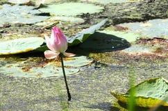 Lotus rose Image stock