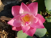 Lotus rose Photo stock