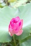 Lotus rose, bourgeon de nénuphar Photo libre de droits