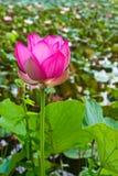 Lotus rose dans l'étang Image libre de droits