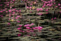Lotus rose dans l'étang Photos stock