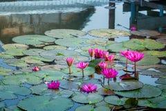 Lotus rose dans l'étang beaucoup dans l'étang de lotus en pleine floraison Photographie stock