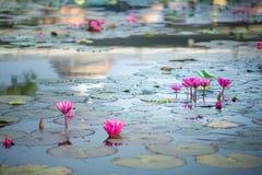 Lotus rose dans l'étang beaucoup dans l'étang de lotus en pleine floraison Images libres de droits