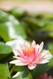 Lotus rose dans le jardin Photo libre de droits