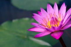 Lotus rose dans le marais Photos stock
