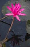 Lotus rose de floraison de Nymphaea avec l'ombre de réflexion dans l'étang Image stock