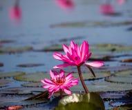 Lotus rose de floraison de Nymphaea dans l'étang Photo libre de droits