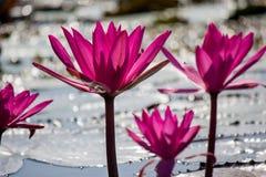 Lotus rose de floraison de Nymphaea dans l'étang Image libre de droits