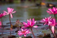 Lotus rose de floraison de Nymphaea dans l'étang Photographie stock