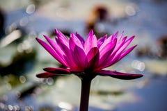 Lotus rose de floraison de Nymphaea dans l'étang Photos libres de droits