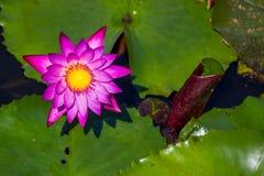 Lotus rose de floraison de Nymphaea dans l'étang Image stock