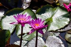 Lotus rose de floraison de Nymphaea dans l'étang Photographie stock libre de droits