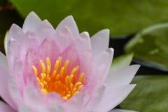 Lotus rose et feuilles de lotus dans la piscine Photographie stock