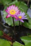 Lotus rose et pourpre de fleur de Lotus beau Images stock