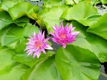 Lotus rose jumeau aux feuilles et jaune si mignon Photos stock
