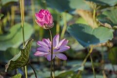 Lotus rose ou waterlily fleur et feuilles dans le lac Photographie stock
