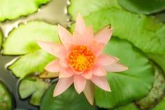Lotus. Rose pink lotus is beautiful Stock Image