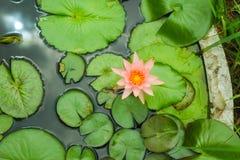 Lotus. Rose pink lotus is beautiful Royalty Free Stock Images