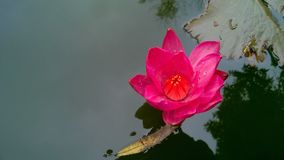 Lotus rose rouge images stock