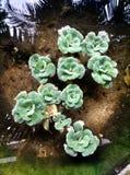 the lotus rose Stock Image