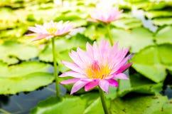 Lotus rose sur l'étang Images stock