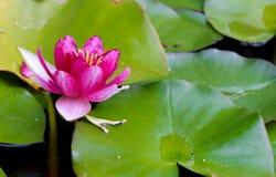 Lotus rose sur l'eau Photographie stock libre de droits