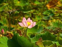 Lotus rose Photo libre de droits