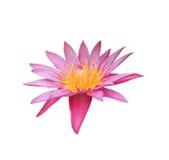 Lotus rose sur le fond blanc photo stock