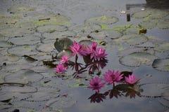 Lotus roses Photographie stock libre de droits