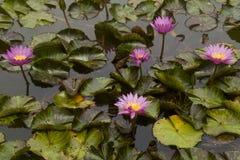 Lotus roses dans la lagune Photographie stock