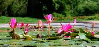 Lotus rosso Immagini Stock