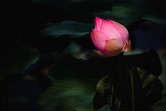 Lotus rosso Immagine Stock