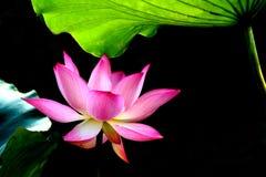 Lotus rouge image libre de droits