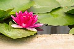 Lotus rouge Photo stock