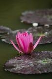 Lotus rouge dans l'étang image libre de droits