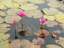 Lotus rouge dans l'étang chez Wapi Pathum Maha Sarakham, Thaïlande Images stock