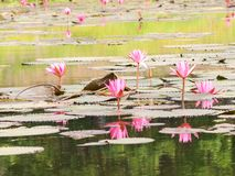 Lotus rouge dans l'étang chez Wapi Pathum Maha Sarakham, Thaïlande Image stock