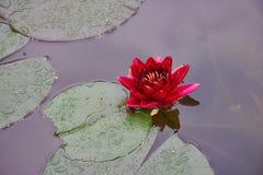 Lotus rouge dans le plan rapproché d'étang photo stock