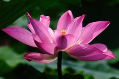 lotus rougeoyant Image libre de droits