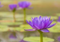 Lotus roxo em uma lagoa Imagem de Stock